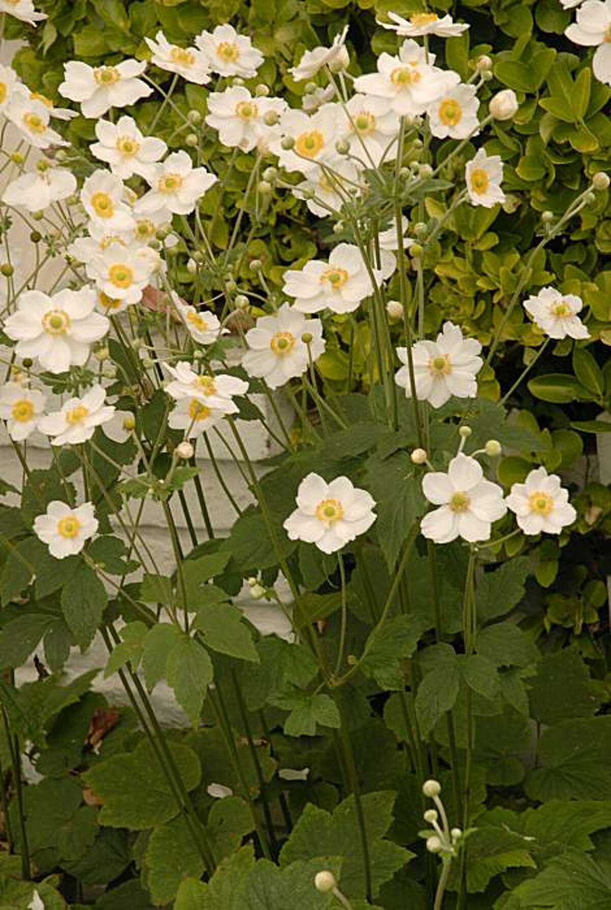 Anemone bulbs should be planted at the beginning of autumn.