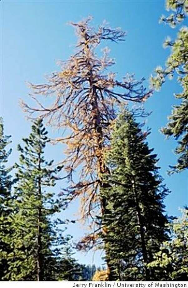 This old- growth sugar pine in the California's High Sierra has been killed by bark beetles as a warming climate cuts the snowpack, leads to drought and favors the infestation of the killing insects. Photo: Jerry Franklin, University Of Washington