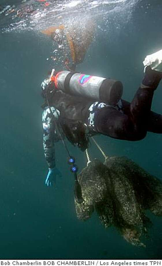 Dive team leader Jason Manix nears the surface with a load as he and other divers work to cut a fishing net off the trawler Infidel, which sank in 2006. Illustrates CATALINA-NET (category a) by Louis Sahagun (c) 2009, Los Angeles Times. Moved Friday, Jan. 16, 2009. (MUST CREDIT: Los Angeles Times photo by Bob Chamberlin.) Dive team leader Jason Manix nears the surface with a load as he and other divers work to cut a fishing net off the trawler Infidel, which sank in 2006. Illustrates CATALINA-NET (category a) by Louis Sahagun (c) 2009, Los Angeles Times. Moved Friday, Jan. 16, 2009. (MUST CREDIT: Los Angeles Times photo by Bob Chamberlin.) Photo: Bob Chamberlin BOB CHAMBERLIN, Los Angeles Times TPN