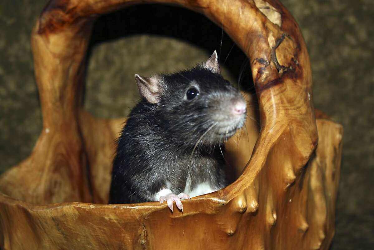 A rat.