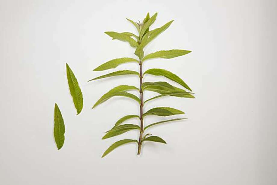Lemon Verbena is seen on Friday, Aug. 20, 2010 in San Francisco, Calif.t Photo: Russell Yip, The Chronicle