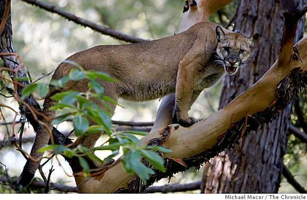 UC Santa Cruz researchers chased this female lion up a tree in Santa Cruz on Tuesday, Dec. 30, 2008. The lion, equipped with a radio transmitter collar. is part of a study that hopes to track their movement, range and habits. Photo: Michael Macor, The Chronicle