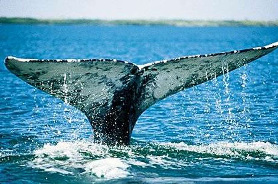 California Gray Whale Photo: Monterey Convention And Visitors, Paul Ratcliffe/OceanFriendsImage