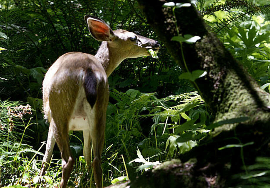 A black tail deer enjoyed lunch near the entrance to Muir Woods, a testament to the quiet nature of the place, Tuesday June 10, 2008. Muir Woods has been named one of the quietest parks in the nation by the Coalition of National Park Services.   By Brant Ward / The Chronicle Photo: Brant Ward, The Chronicle
