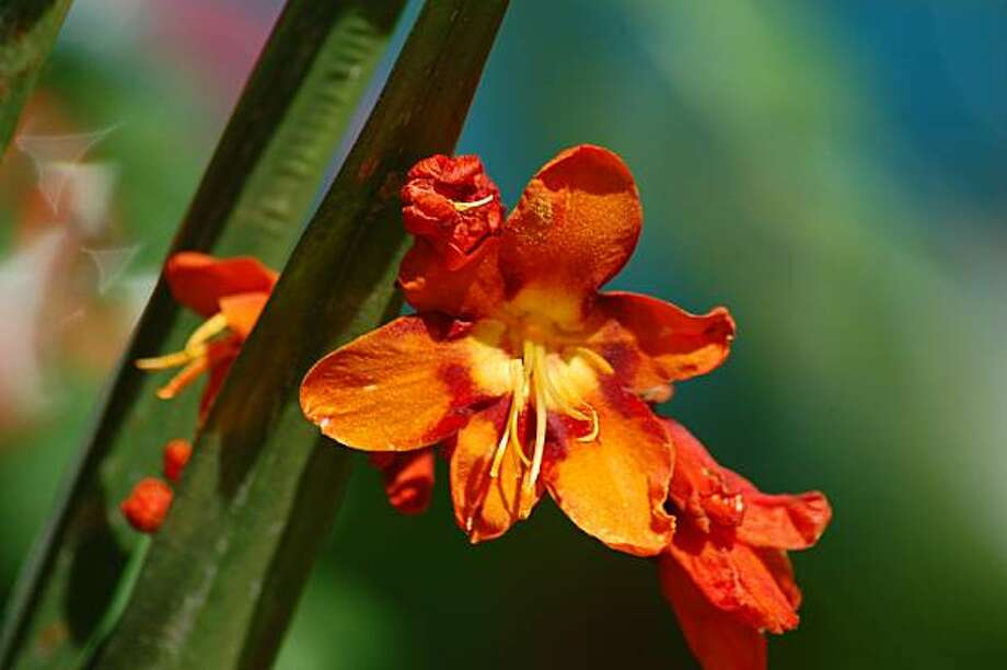 Crocosmia Photo: Erle Nicke