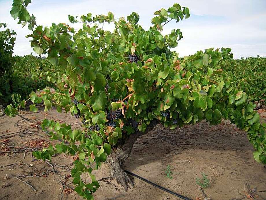 Old Vine Grenache in Barossa Valley, from the Tri Centenary vineyard planted in 1889 Photo: Courtesy Wine Australia USA