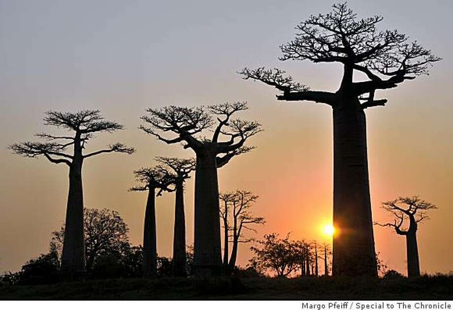 Groves of baobabs in Western Madagascar near Morondava. Photo: Margo Pfeiff, Special To The Chronicle