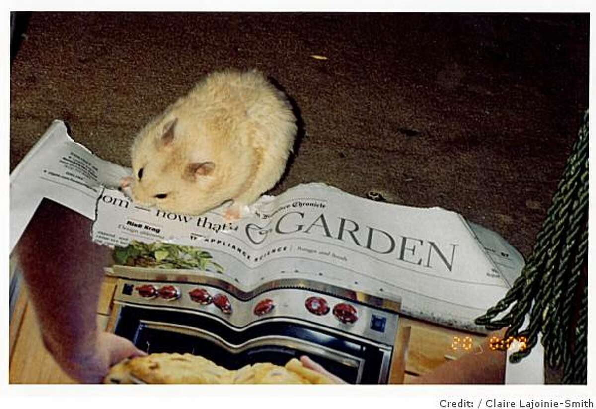 Ophelie the hamster enjoys the Chronicle's Home & Garden section.Credit: Claire Lajoinie-Smith