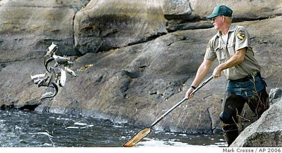 A state Department of Fish and Game hatchery worker tosses rainbow trout into the Kings River after netting them from a tanker truck. Photo: Mark Crosse, AP 2006