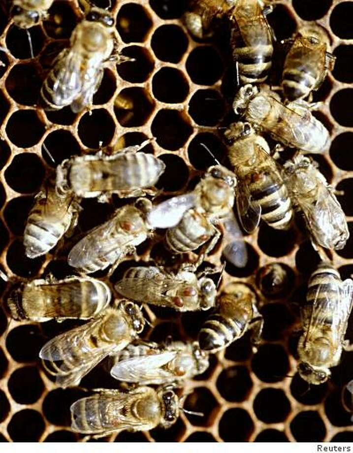 Billions of bees have been vanishing, leaving the crop fields they are supposed to pollinate, and scientists are mystified about why. The phenomenon was first noticed late last year in the United States, where honeybees are used to pollinate $15 billion worth of fruits, nuts and other crops annually. Disappearing bees have also been reported in Europe and Brazil. Photo: Reuters
