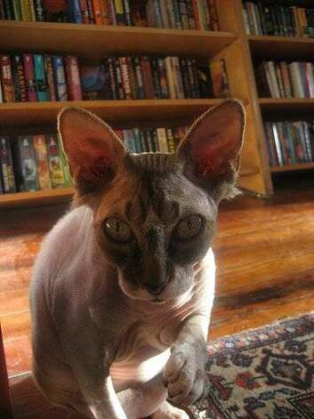 story about cats in bookstores-- Ash from borderlands books in san francisco Photo: Courtesy, Borderland Books