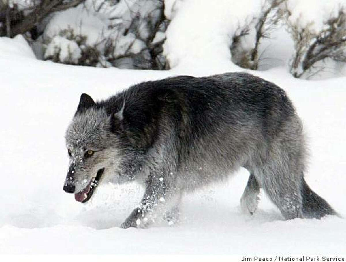 A female wolf from Yellowstone's Druid Pack seen near the Lamar River. Photo by Jim Peaco, NPS.
