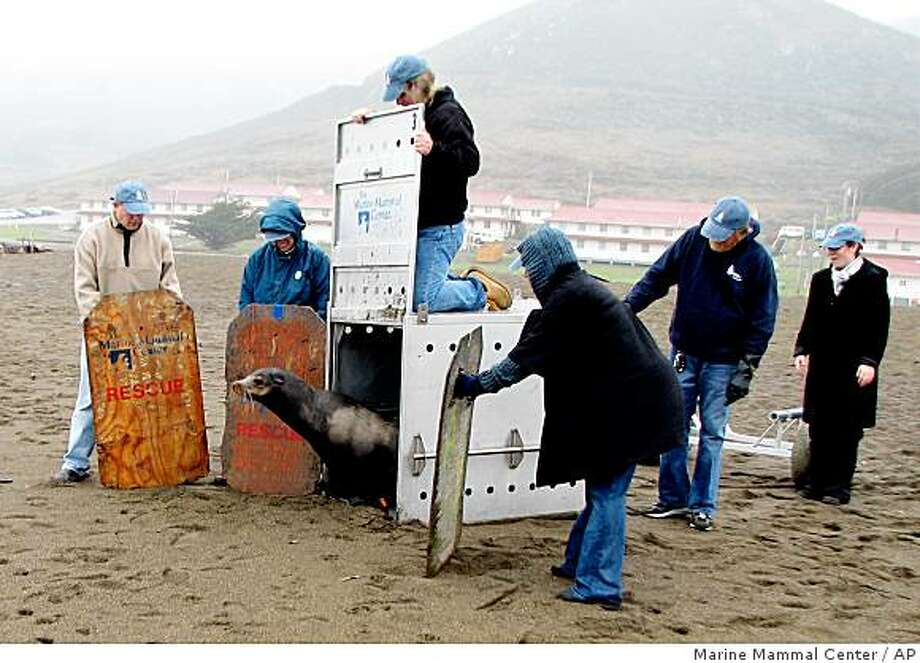 In this photo released by the Marine Mammal Center, volunteers from the center release a male sea lion at Rodeo beach on Wednesday, Dec. 24, 2008 in Sausalito, Calif.  The young sea lion was rescued Tuesday after wandering near an Oakland International Airport runway. (AP Photo/Marine Mammal Center) ** NO SALES ** Photo: Marine Mammal Center, AP