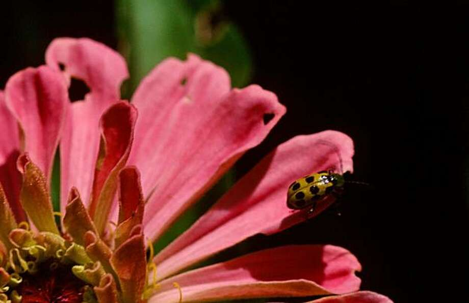 "The 1/4"" long western spotted cucumber beetle flies to gardens to feast on flowers and vegetables. It is difficult to manage by organic means. Not a ""green lady bug"" but a western spotted cucumber beetle, this insect feeds en mass and is dfficult to control. Photo: Pam Peirce"