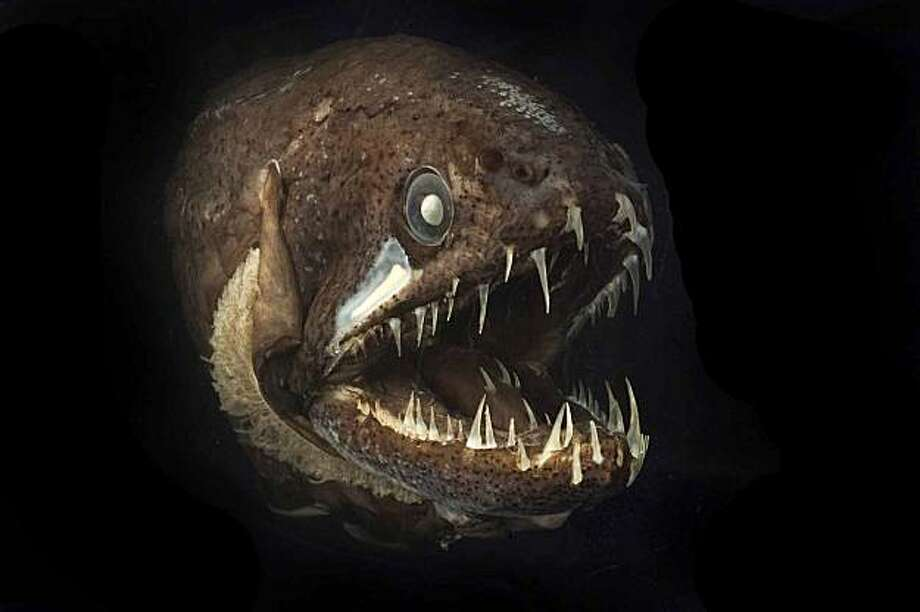 This undated handout photo provided by the Census for Marine Life  shows a dragonfish that even has teeth on its tongue. They would be terrifying animals if they weren't the size of a banana. Photo: Dr. Julian Finn, AP