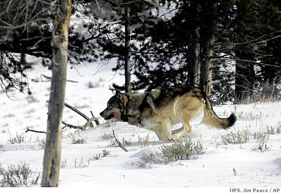 This Feb. 16, 2006 photo released by the National Park Service shows a Wolf near Blacktail Pond in Yellowstone National Park. (AP Photo/ NPS, Jim Peaco) Photo: NPS, Jim Peaco, AP