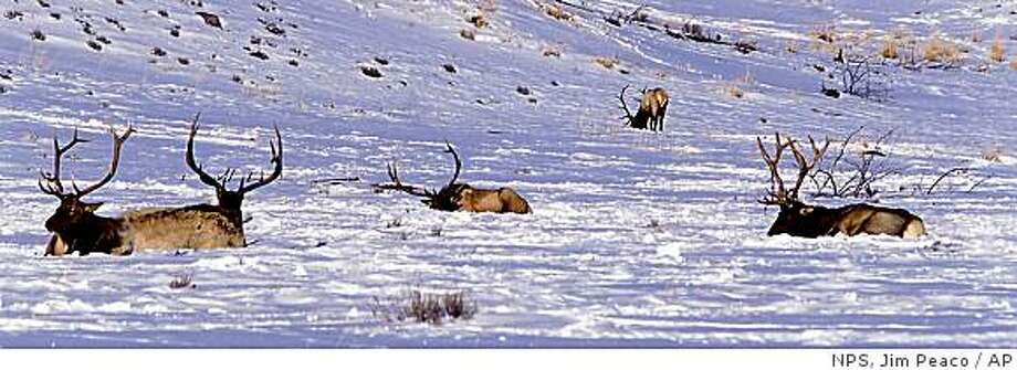 This January 2001 photo released by the National Park Service shows five bull elk in the snow near Wraith Falls trailhead in Yellowstone National Park. (AP Photo/NPS, Jim Peaco) Photo: NPS, Jim Peaco, AP