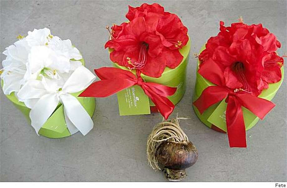 Abaryllis bulbs in beautiful containers, $42 Photo: Fete