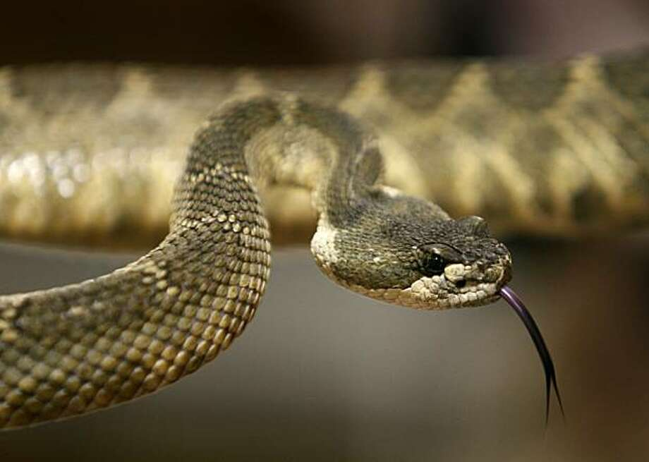 A Northern Pacific rattlesnake recovered by the Sonoma County Reptile Rescue center checks its surroundings in Sebastopol, Calif., on Friday, June 26, 2009. Photo: Paul Chinn, The Chronicle