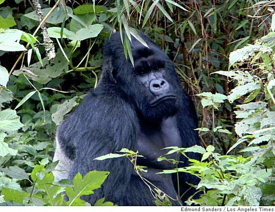 GORILLAS: A silverback named Lulengo heads one of seven gorilla families in Virunga, Africa's oldest park. Illustrates GORILLAS (category I) by Edmund Sanders (c) 2008, Los Angeles Times. Moved Monday, Dec. 8, 2008. (MUST CREDIT: Los Angeles Times photo by Edmund Sanders.)A silverback named Lulengo heads one of seven gorilla families in Virunga, Africa's oldest park. Illustrates GORILLAS (category I) by Edmund Sanders (c) 2008, Los Angeles Times. Moved Monday, Dec. 8, 2008. (MUST CREDIT: Los Angeles Times photo by Edmund Sanders.) Photo: Edmund Sanders, Los Angeles Times