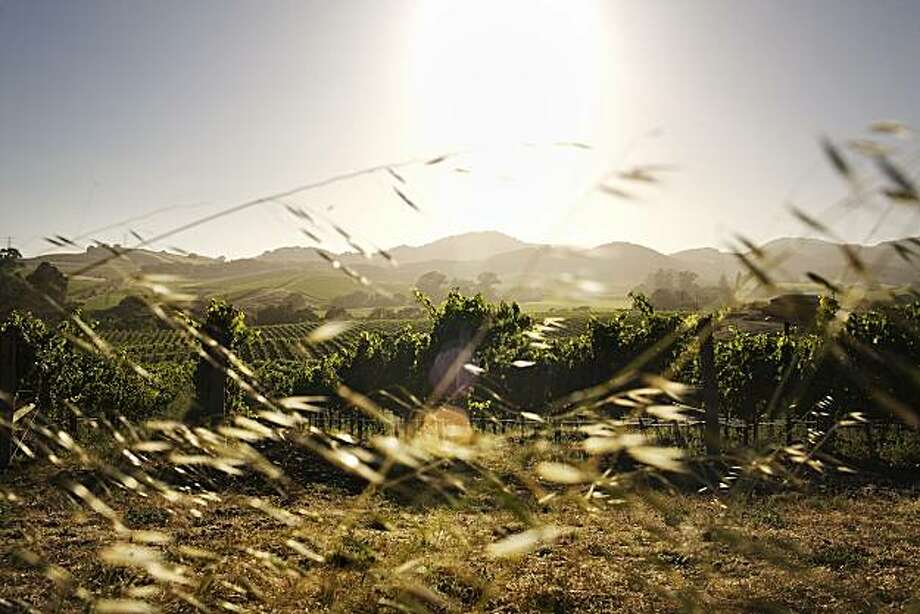 Vineyards facing west along Duhig Rd. in the Carneros region, of Sonoma, Ca., on Sunday, July 18, 2010. Photo: Lianne Milton, Special To The Chronicle