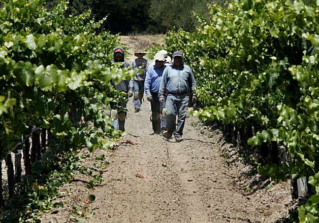 Vineyard workers emerge from thinning the vines at Gundlach Bundschu. The Gundlach Bundschu winery in Sonoma, Calif. has over 300 acres of grapes and a wide ranging tour that is popular with tourists and residents alike. Photo: Brant Ward, The Chronicle