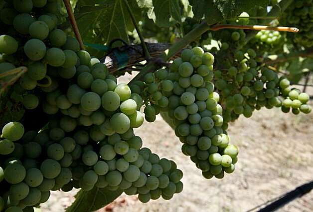Chardonnay grapes are flourishing despite the mild summer in Sonoma Valley at Gundlach Bundschu. The Gundlach Bundschu winery in Sonoma, Calif. has over 300 acres of grapes and a wide ranging tour that is popular with tourists and residents alike. Photo: Brant Ward, The Chronicle