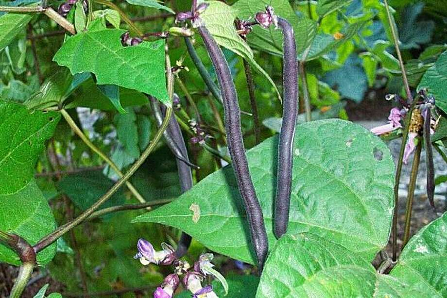 Bush beans come in a variety of colors and  types and  can grow alongside your other garden plants. Photo: Laramie Trevino