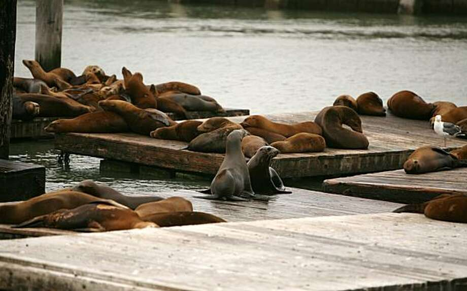 California sea lions lie on the docks at Pier 39 in San Francisco, Calif. on Thursday July 8, 2010. Naturalists will now be at Pier 39 to educate tourists about the California sea lions which crowd next to the piers. The recently started program is a joint effort by the Marine Mammal Center, Pier 39, and the Aquarium By the Bay. It is an effort to educate tourists and San Franciscans about Sea Lions and encourage them to do their part in helping the sea creatures. Photo: Jasna Hodzic, The Chronicle