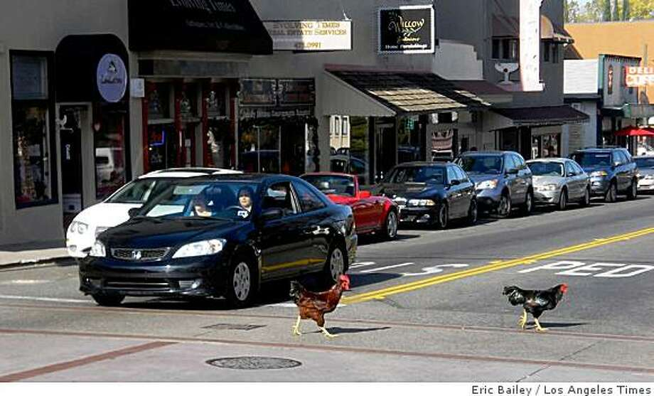 "CHICKENS: The feral fowl of Fair Oaks, Calif., reputedly date back three decades and now number more than 200. ""We adore them. They're an integral part of the village,"" said one resident. ""They're pretty rogue,"" said another. Illustrates CHICKENS (category a) by Eric Bailey (c) 2008, Los Angeles Times. Moved Tuesday, Dec. 9, 2008. (MUST CREDIT: Los Angeles Times photo by Eric Bailey.) The feral fowl of Fair Oaks, Calif., reputedly date back three decades and now number more than 200. ""We adore them. They're an integral part of the village,"" said one resident. ""They're pretty rogue,"" said another. Illustrates CHICKENS (category a) by Eric Bailey (c) 2008, Los Angeles Times. Moved Tuesday, Dec. 9, 2008. (MUST CREDIT: Los Angeles Times photo by Eric Bailey.) Photo: Eric Bailey, Los Angeles Times"