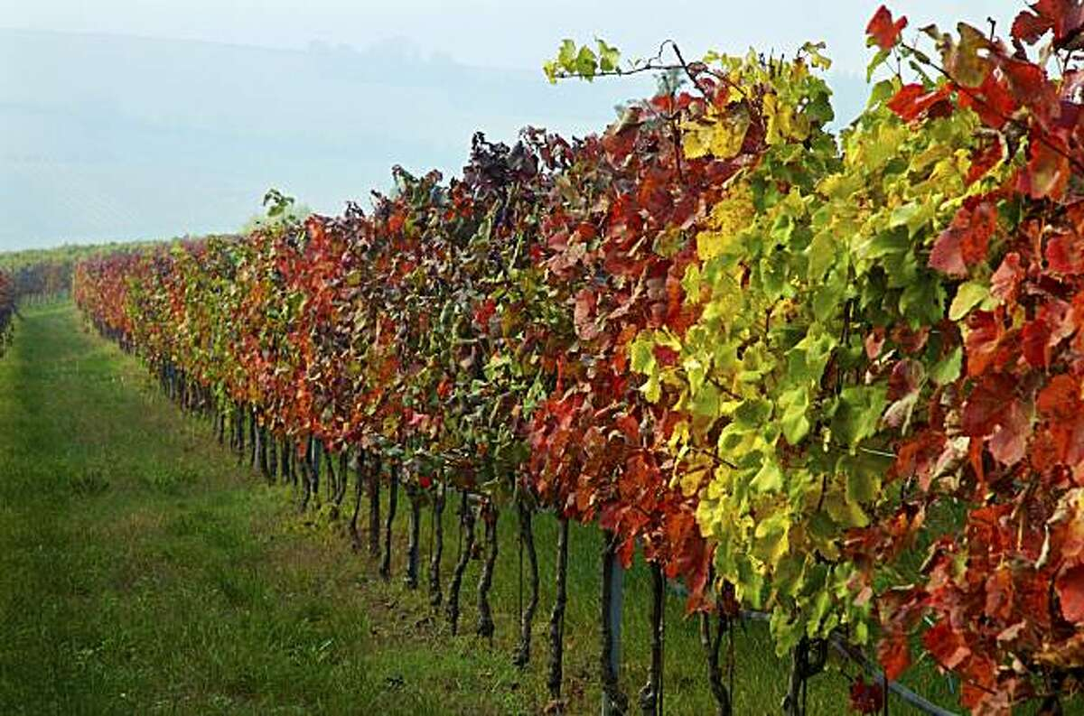 Reddish colors in the vineyard are a sign of grape leafroll virus.