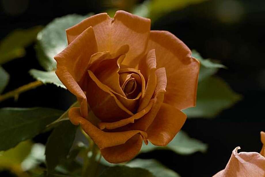 Roses03_pumpkin   credited to Gene Sasse / Weeks Roses Photo: Gene Sasse, Weeks Roses