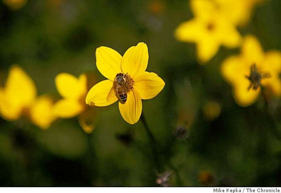 A bee pollinates a yellow Asteracae at the San Francisco Botanical Garden on, Friday Dec. 2, 2008 in San Francisco, Calif. Photo: Mike Kepka, The Chronicle