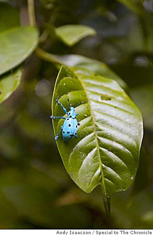 Beetle at Raleighvallen, Central Suriname Nature Reserve Photo: Andy Isaacson, Special To The Chronicle