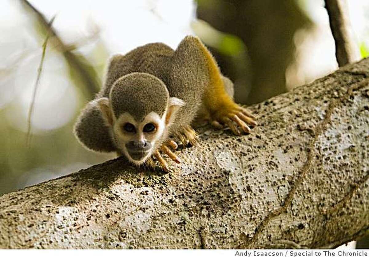 Squirrel monkey at Raleighvallen, Central Suriname Nature Reserve