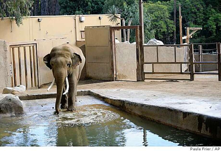 Billy, a 21-year-old Asian elephant, drinks water in his enclosure at the Los Angeles Zoo Sunday, Nov. 2, 2008, in Los Angeles. The future of the elephant habitat at the Los Angeles Zoo could be determined Wednesday, Dec. 3. 2008, when the City Council meets.  (AP Photo/Paula Frier) Photo: Paula Frier, AP
