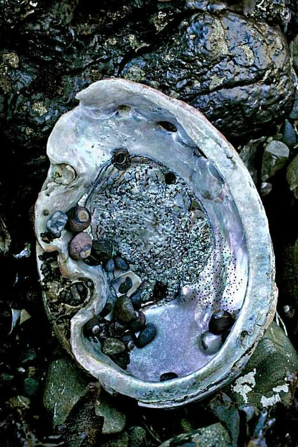 Abalone shells are strewn across the rocky beaches of  Fort Ross Reef in Fort Ross , Ca. on Friday July 2, 2010, where in 2009, an estimated 60,000 Abalone were collected. Photo: Michael Macor, The Chronicle