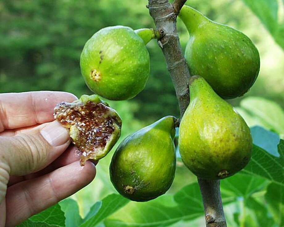 'Desert King' fig Photo: Raintree Nursery