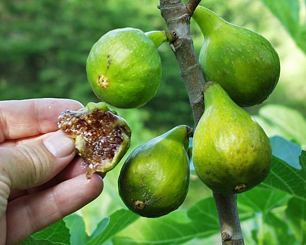 Hot Figs To Grow In Cool Places Sfgate