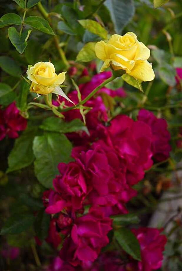 Roses of two colors on one plant spells trouble for the one you originally planted. 'Ragged Robin', a red-flowered rootstock rose growing on an unidentified yellow-flowered rose plant. Photo: Pam Peirce