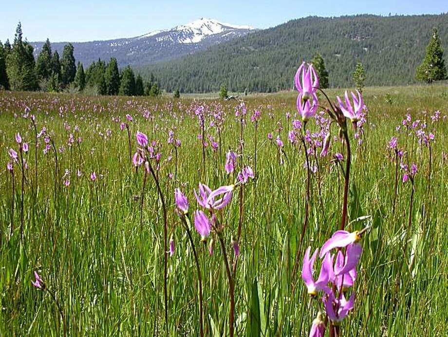 Spring is arriving at elevations 3,000 to 6,000 feet in the Sierra and Shasta-Cascade ranges. Shooting Stars are blooming this week in McNabb's Meadow (with Pyramid Peak in the background) in Trinity Divide. Photo: Tom Stienstra