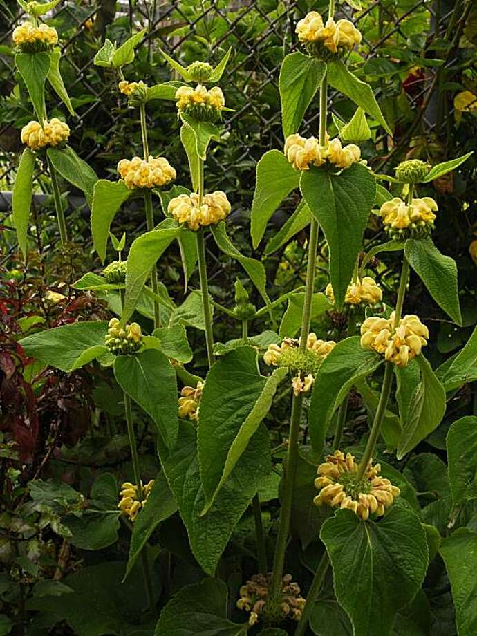 Jerusalem sage (Plomas fruticosa) needs infrequent summer water to thrive in the Bay Area. Photo: Pam Peirce