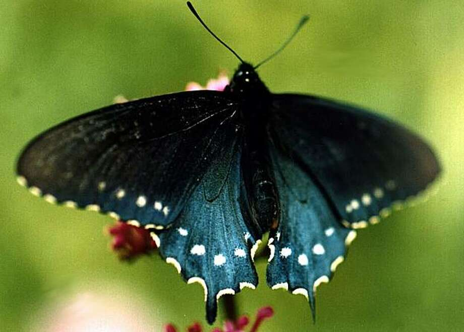 "A male Pipevine Swallowtail, the Hallberg Butterfly Gardens' ""signature butterfly,"" can be spotted at the annual Open Garden. Photo: Louise Hallberg"