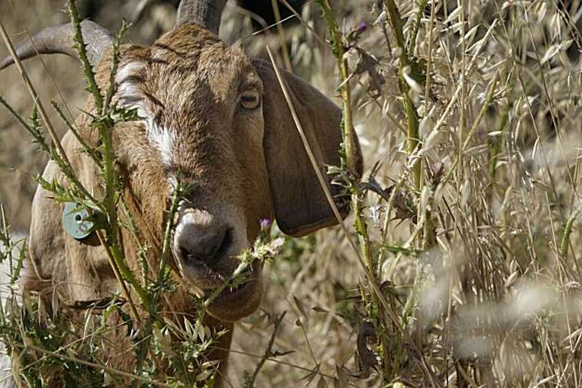 An Ecosystem Concepts' Spanish Meat Cross goat eats grass on a hillside in San Carlos, Calif. on Tuesday June 17, 2010. Ecosystem Concepts uses its goats to clear the weeds, grasses, and low tree branches that fuel brushfires and uses an approach that is completely natural.