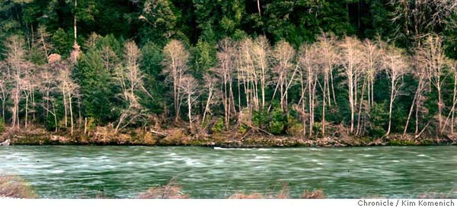 KLAMATH02_073_KK.JPG  As part of our story on the collapse of Klamath River salmon fisheries we drive along the Klamath from Klamath Falls to the coast. These alders near Happy Camp endure the last days of winter.  San Francisco Chronicle photo by Kim Komenich  3/26/06 � Copyright 2006 Kim Komenich/San Francisco Chronicle Photo: Kim Komenich