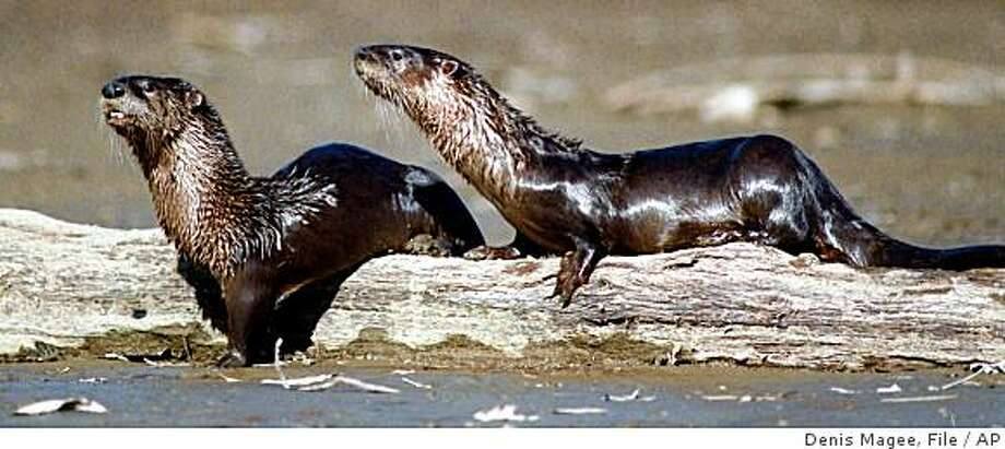 **APN ADVANCE FOR SUNDAY NOV. 16**   ** FILE**  This file photo from 1995 shows river otters on a log in the Kaskaskia River near Carlyle, Ill. The Nebraska state Game and Parks Commission is considering introducing river otters to parts of Nebraska's Republican River. Otters, which grow to three to four feet and weigh 15 to 25 pounds, are native to Nebraska and were a common sight to early explorers of the state, but unregulated trapping caused them to mostly disappear in the early 1900's.(AP Photo/Herald & Review, Denis Magee, file)  ** NO SALES ** Photo: Denis Magee, File, AP
