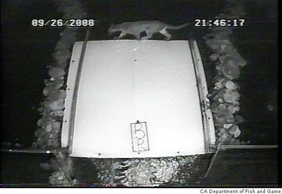 "A mountain lion making a night-time crossing is captured on the DFG 's ""crittercam'' Photo: CA Department Of Fish And Game"