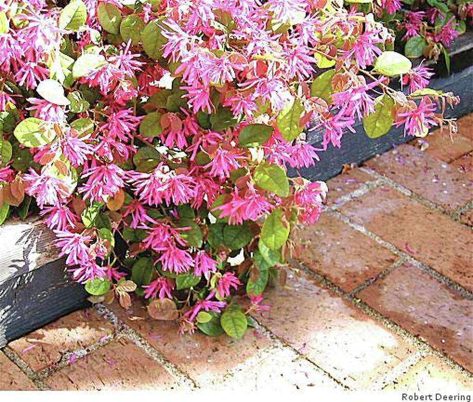 Fringe flower, or Chinese fringe flower, (Loropetalum chinense) is a shrub with small rounded leaves and white or pink flowers with narrow, twisted petals. Photo: Robert Deering, The Chronicle