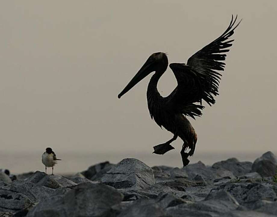 An oil-covered Brown Pelican struggles to fly at Queen Bess Island, La, Sunday, June 6, 2010. Oil from the Deepwater Horizon spill continued to move inland along several gulf states. Photo: Charlie Riedel, AP