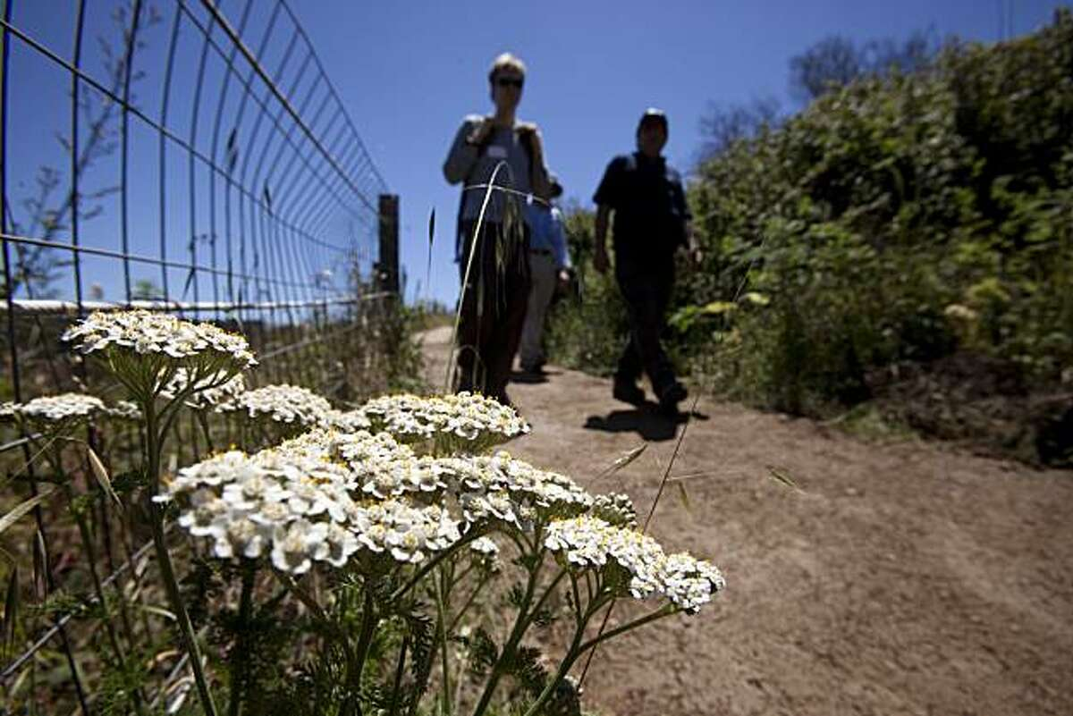 People walk past a Yarrow plant along the Ecological and Bay Area Ridge Trails in the Presidio.